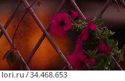 Pink ornate plants on the mesh fence. Стоковое видео, видеограф Константин Шишкин / Фотобанк Лори