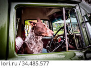 An Australian Kelpie dog spotted in the driver's seat of an old classic... Стоковое фото, фотограф Zoonar.com/Chris Putnam / easy Fotostock / Фотобанк Лори