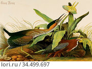 'chromolithograph by Julius Bien, with some hand-coloring, dated ... Стоковое фото, фотограф John James Audubon / age Fotostock / Фотобанк Лори