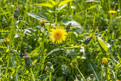 A yellow dandelion head is on a beautiful blurred green background