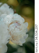 Closeup of blooming white peony flowers under natural light in the summer garden. Стоковое фото, фотограф Julia Shepeleva / Фотобанк Лори