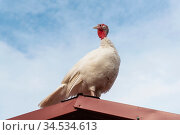 Индюшка на крыше сарая. Стоковое фото, фотограф Александр Щепин / Фотобанк Лори