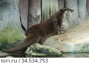 Eurasian otter (Lutra lutra) lies on shore (focus on the muzzle) Стоковое фото, фотограф Валерия Попова / Фотобанк Лори
