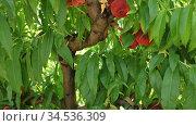 Fresh ripe Saturn peaches hanging on tree branches in summer fruit garden. Стоковое видео, видеограф Яков Филимонов / Фотобанк Лори
