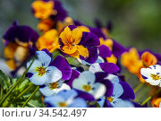 Pansy flowers in the springtime. Стоковое фото, фотограф Joseph De Sciose / age Fotostock / Фотобанк Лори