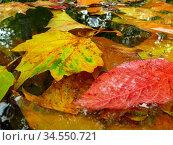 Herbstlaub, See, wasser, laub, blätter, natur, gewässer, bunt, rot... Стоковое фото, фотограф Zoonar.com/Volker Rauch / age Fotostock / Фотобанк Лори