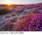 Sand verbena (Abronia villosa) and Desert lily (Hesperocallis Undulata) flowering on Mowhawk Dunes at sunset. Barry M Goldwater Air Force Range, Arizona, USA. March 2020. Стоковое фото, фотограф Jack Dykinga / Nature Picture Library / Фотобанк Лори