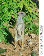 Meerkat (Suricata suricatta) stands sentry and looks out for danger. Стоковое фото, фотограф Валерия Попова / Фотобанк Лори