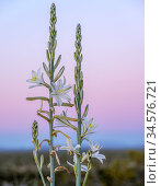 Desert lily (Hesperocallis undulata) at dawn. Barry M Goldwater Air Force Range, Arizona, USA. March. Стоковое фото, фотограф Jack Dykinga / Nature Picture Library / Фотобанк Лори