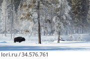 Bison (Bison bison) in snow, at woodland edge with frost covered trees. Yellowstone National Park, USA, January 2020. Стоковое фото, фотограф Danny Green / Nature Picture Library / Фотобанк Лори