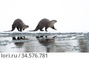 North American river otter (Lontra canadensis) female and cub walking... Стоковое фото, фотограф Danny Green / Nature Picture Library / Фотобанк Лори