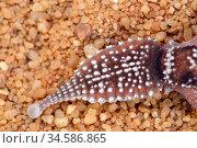 Shingleback lizard (Tiliqua rugosa) tail, viewed from above. Kalbarri National Park, Western Australia. October. Стоковое фото, фотограф Bert Willaert / Nature Picture Library / Фотобанк Лори
