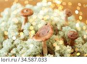 lactarius rufus mushrooms in reindeer lichen moss. Стоковое фото, фотограф Syda Productions / Фотобанк Лори