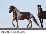 Mustang horse, two, one with skewbald colouration. Sand Wash Basin Herd Management Area, Colorado, USA. Стоковое фото, фотограф Carol Walker / Nature Picture Library / Фотобанк Лори