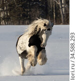 Gypsy vanner stallion galloping through snow. Alberta, Canada. February. Стоковое фото, фотограф Carol Walker / Nature Picture Library / Фотобанк Лори