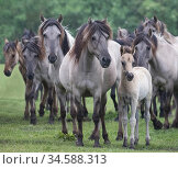 RF - Wild Dulmen pony herd including female and foal. Germany. (This... Стоковое фото, фотограф Carol Walker / Nature Picture Library / Фотобанк Лори