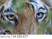 RF - Eyes / face of female Bengal tiger (Panthera tigris tigris) walking... Стоковое фото, фотограф Nick Garbutt / Nature Picture Library / Фотобанк Лори