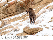 Siberian ibex (Capra sibirica) male on mountain slope. Ladakh Ranges, western Himalayas, Ladakh, India. Стоковое фото, фотограф Nick Garbutt / Nature Picture Library / Фотобанк Лори