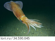 Common squid. Squid (Loligo vulgaris). Eastern Atlantic. Galicia. ... Стоковое фото, фотограф Marevision / age Fotostock / Фотобанк Лори