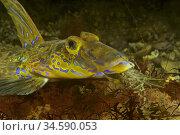 Common dragons, Dragonet (Callionymus lyra) devouring Shrimp. Common... Стоковое фото, фотограф Marevision / age Fotostock / Фотобанк Лори