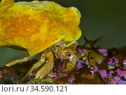Hermit crab (Pagurus sp. ) with Sea Orange (Suberites domuncula). ... Стоковое фото, фотограф Marevision / age Fotostock / Фотобанк Лори