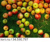 Apfel, äpfel, apfelbaum, wiese, apfelernte, obst, frucht, früchte... Стоковое фото, фотограф Zoonar.com/Volker Rauch / easy Fotostock / Фотобанк Лори