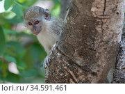 Green monkey (Chlorocebus sabaeus) juvenile peering around tree trunk. Janjanbureh, Gambia. Стоковое фото, фотограф Bernard Castelein / Nature Picture Library / Фотобанк Лори
