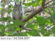 Greyish eagle owl (Bubo cinerascens) perched in tree. Faraba Banta, Gambia. Стоковое фото, фотограф Bernard Castelein / Nature Picture Library / Фотобанк Лори