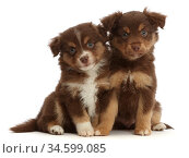 Mini American Shepherd puppies, age 7 weeks, sitting. Стоковое фото, фотограф Mark Taylor / Nature Picture Library / Фотобанк Лори