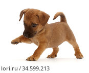 Brown Jack Russell x Border Terrier puppy, standing with paw raised. Стоковое фото, фотограф Mark Taylor / Nature Picture Library / Фотобанк Лори