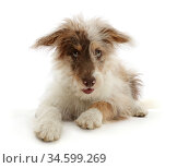 Red merle Cadoodle puppy, age 6 weeks, lying down. Стоковое фото, фотограф Mark Taylor / Nature Picture Library / Фотобанк Лори
