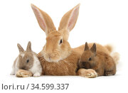 RF - Flemish Giant Rabbit, Toffee, and baby Netherland dwarf-cross... Стоковое фото, фотограф Mark Taylor / Nature Picture Library / Фотобанк Лори