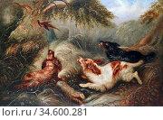 Armfield George - Spaniels Putting up a Pheasant - British School... Стоковое фото, фотограф Artepics / age Fotostock / Фотобанк Лори