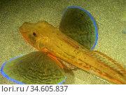 Sea Robin, Tub gurnard, Saphirine gurnard (Chelidonichthys lucerna... Стоковое фото, фотограф Marevision / age Fotostock / Фотобанк Лори