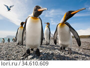 King penguins (Aptenodytes patagonicus) on the beach at Salisbury Plain, with Antarctic Tern (Sterna vittata) hovering. South Georgia, South Atlantic. Стоковое фото, фотограф Nick Garbutt / Nature Picture Library / Фотобанк Лори