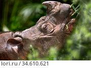 Sumatran (Asian) two-horned Rhinoceros (Dicerorhinus sumatrensis) found in isolated rainforest in Borneo and Sumatra. In captivity at Sepilok Rehabilitation Centre, Sabah, Borneo. Стоковое фото, фотограф Nick Garbutt / Nature Picture Library / Фотобанк Лори