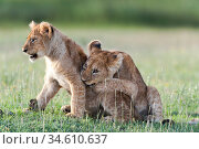 RF - African Lion cubs (Panthera leo) age four months, playing, Big Marsh, near Ndutu, Ngorongoro Conservation Area / Serengeti National Park, Tanzania... Стоковое фото, фотограф Nick Garbutt / Nature Picture Library / Фотобанк Лори
