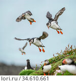 RF - Atlantic Puffins (Fratercula arctica) flying on to the cliff top and gathering around burrows. Isle of Lunga, Treshnish Isles, Isle of Mull, Scotland... Стоковое фото, фотограф Nick Garbutt / Nature Picture Library / Фотобанк Лори