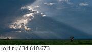 RF - Adult bull elephant (loxodonta africana) on the open short-grass plains, near Ndutu, Ngorongoro Conservation Area / Serengeti National Park, Tanzania... Стоковое фото, фотограф Nick Garbutt / Nature Picture Library / Фотобанк Лори