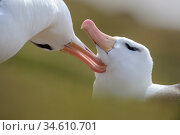 RF - Pair of black-browed albatross (Thalassarche melanophrys) greeting... Стоковое фото, фотограф Nick Garbutt / Nature Picture Library / Фотобанк Лори