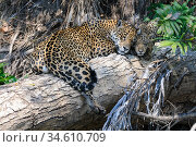 RF - Jaguar (Panthera onca palustris) female with cub on a fallen log along the Cuiaba River, Northern Pantanal, Brazil. (This image may be licensed either as rights managed or royalty free.) Стоковое фото, фотограф Nick Garbutt / Nature Picture Library / Фотобанк Лори