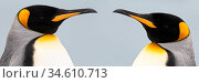 RF -Two King penguins (Aptenodytes patagonicus) head to head, South Georgia, South Atlantic. (digitally stitched image) (This image may be licensed either as rights managed or royalty free.) Стоковое фото, фотограф Nick Garbutt / Nature Picture Library / Фотобанк Лори