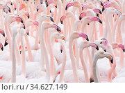 Greater flamingo (Phoenicopterus roseus) flock, Pont Du Gau Park,... Стоковое фото, фотограф Edwin Giesbers / Nature Picture Library / Фотобанк Лори
