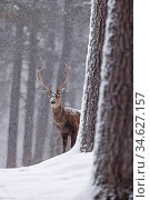 Red deer (Cervus elaphus) stag in snowy pine forest. Cairngorms National Park, Highlands, Scotland, UK, March. Highly commended in the Wild Woods Category of the BWPA Awards 2019. Стоковое фото, фотограф SCOTLAND: The Big Picture / Nature Picture Library / Фотобанк Лори