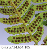 Holly / Shield fern (Polystichum) with sori on the frond (leaf) underside. Стоковое фото, фотограф Nigel Cattlin / Nature Picture Library / Фотобанк Лори