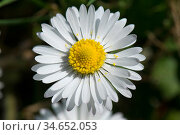 Daisy (Bellis perennis), composite flower with white ray florets and yellow disk florets. Стоковое фото, фотограф Nigel Cattlin / Nature Picture Library / Фотобанк Лори