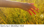 hand of woman touching herbs on sunny summer field. Стоковое видео, видеограф Syda Productions / Фотобанк Лори