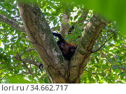 Black-handed spider monkey (Ateles geoffroyi) Corcovado National Park, Osa Peninsula, Costa Rica. Стоковое фото, фотограф David Pattyn / Nature Picture Library / Фотобанк Лори