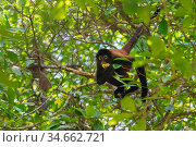 Black-handed spider monkey (Ateles geoffroyi) feeding on fruit in a tree Corcovado National Park, Osa Peninsula, Costa Rica. Стоковое фото, фотограф David Pattyn / Nature Picture Library / Фотобанк Лори