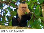 White-faced Capuchin (Cebus capucinus imitator) killing and eating a young Green Iguana (Iguana iguana) Manuel Antonio National Park, Quepos, Costa Rica. Стоковое фото, фотограф David Pattyn / Nature Picture Library / Фотобанк Лори